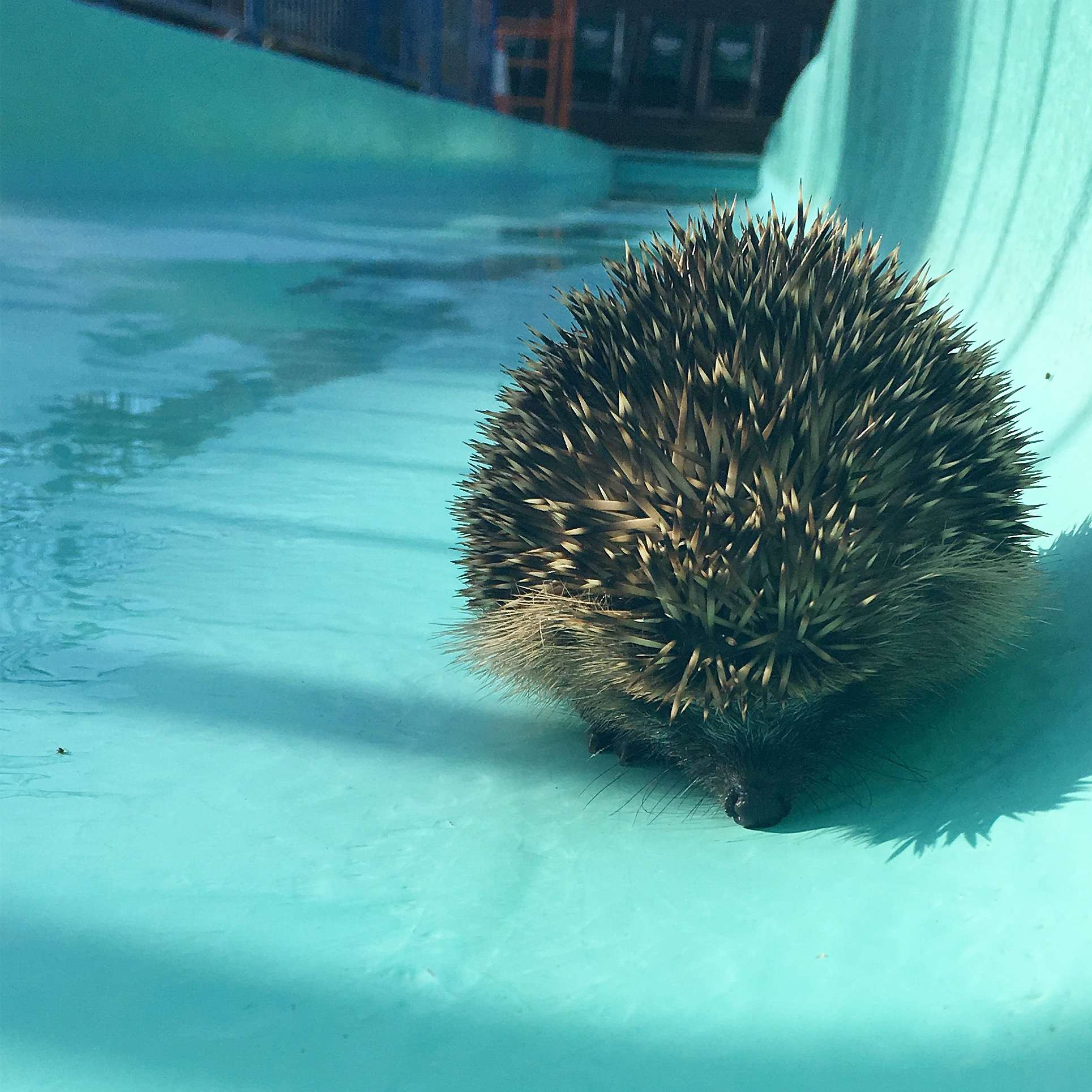 Hedgehog Surprises Lifeguards First Thing in the Morning